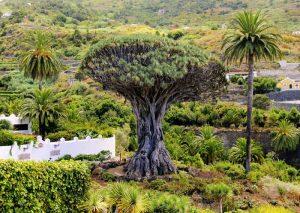 Dragon Tree-Drago Milenario- Icod de los Vinos-Tenerife